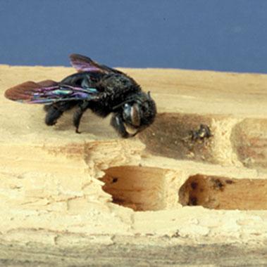 L'abeille charpentière